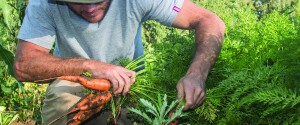 Carrots being harvested at Boschendal (pic: Boschendal)